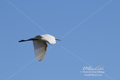Great White Egret_314
