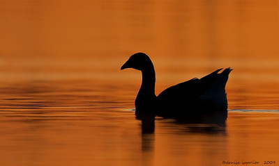 Greater White Fronted Goose Silhouette