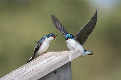 #1382 Tree Swallows