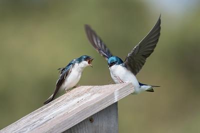 #1382 Tree Swallows