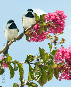 Carolina Chickadees poecile carolinensis in a Blooming Crape Myrtle Tree