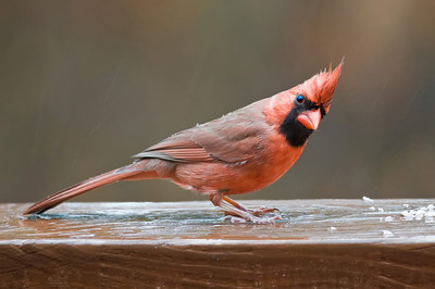 Male Northern Cardinal, Silver Bay, NJ.