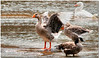 Sept 15<br /> Look at me!!<br /> <br /> A toulouse goose poses for the camera