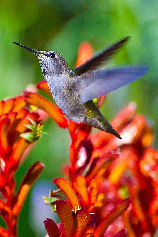 Hummingbird and Red Kangaroo Paw (detail)
