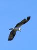Osprey, Riverside Park, Yuma, AZ, jan 22, 2016 PPICT0143