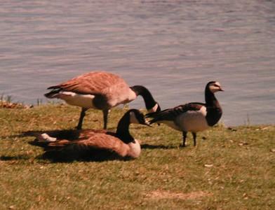 Barnacle Goose w/ Canada Geese,  at Lake Flower, Saranac Lake, NY, , may 8, 1997