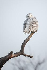 #847 Snowy Owl