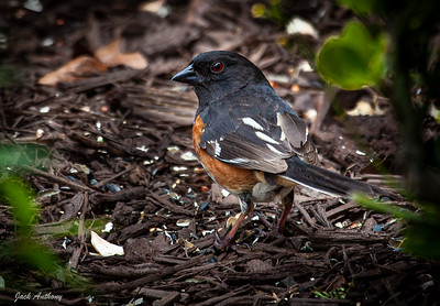 Rufous-sided Towee