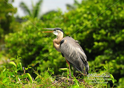 Great Blue Heron_020