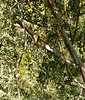 Ruby-crowned Kinglet, Jenny's Wash, Awatookee, AZ nov 23, 2006 015