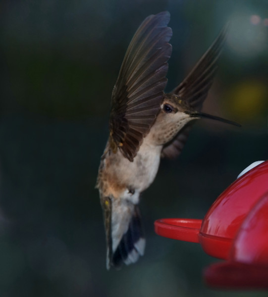 cr Black-Chinned Hummingbird  female D80 136  006