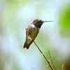 Black-Chinned Hummingbird  male D80 261 141