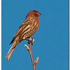 Jan 15<br /> Male House Finch (Carpodacus mexicanus) enjoying the winter sun
