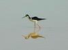 Black-necked Stilt, Gilbert AZ, tom's AZ trip mar 2012a 037