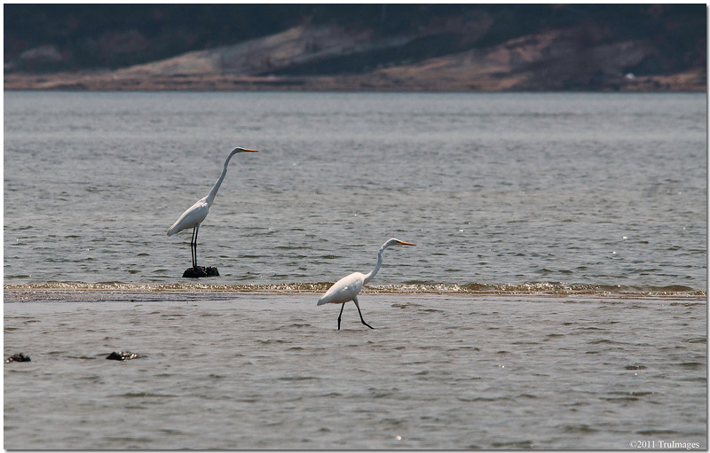 Sept 4<br /> Egrets stroll in the shallow waters of Jordan lake