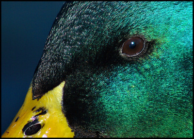 Eye of the Mallard