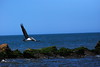 Pelican over north jetties