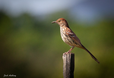 Brown Thrasher on a post