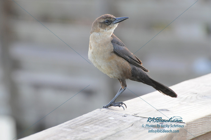 Female Boat-Tailed Grackle_123