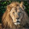 Sahir,  elder male lion LP Zoo