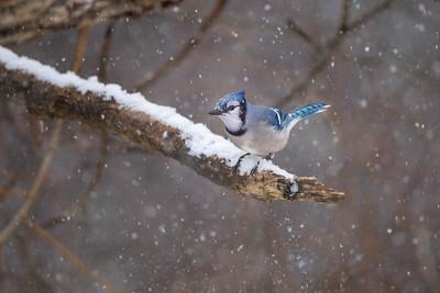 #1557 Blue Jay