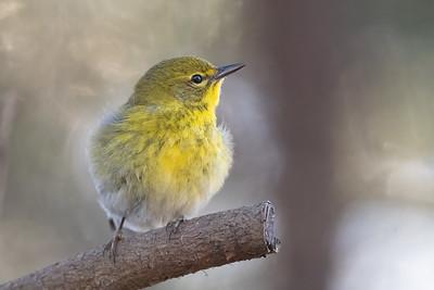 #1583 Pine Warbler