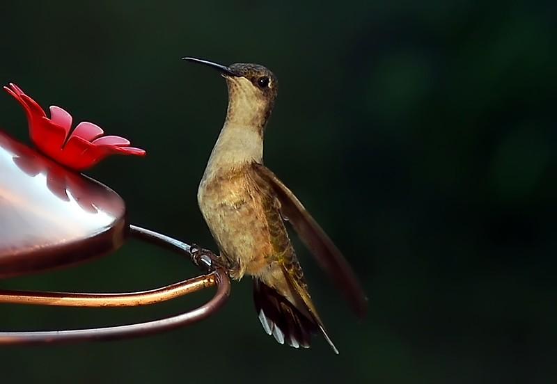 Blackchin Female   hummingbirds 181f