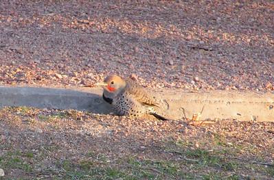Gilded Flicker Jenny's Wash, Awatookee, AZ nov 23, 2006 005