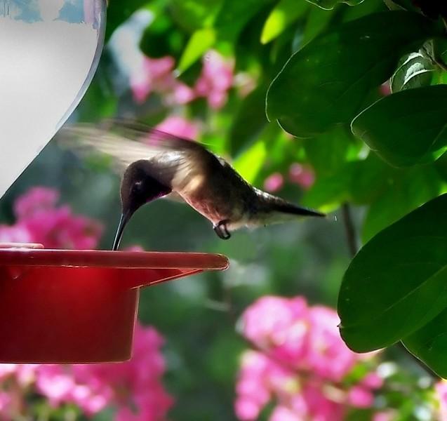 BLACK-CHINNED HUMMINGBIRD male 100b178_2_CR