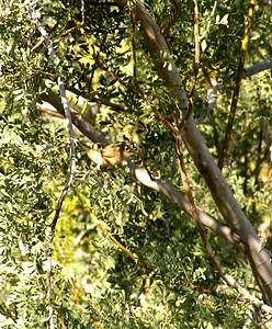 Ruby-crowned Kinglet, Jenny's Wash, Awatookee, AZ nov 23, 2006 014