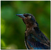 Sept 10 <br /> Portrait of a Grackle<br /> <br /> I love relaxing on my patio and watching birds visit the bridfeeder. I had hoped to photograph a blue jay yesterday but he was quite camera shy. But not this guy, he gave me several nice poses to complete his modeling portfolio!