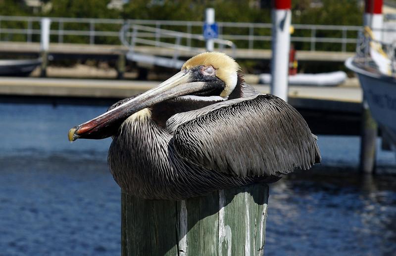Sleeping pelican