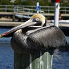 Sleeping pelican
