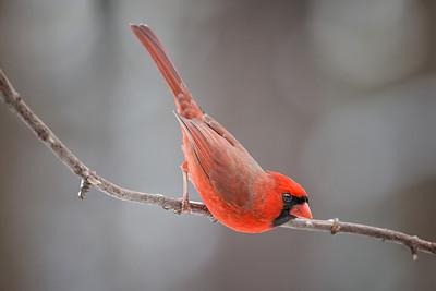 #521 Cardinal 5147