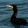 Cormorant Portrait