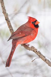 #1556 Northern Cardinal