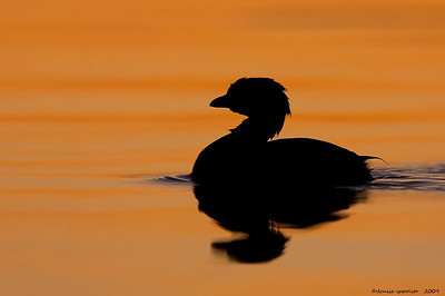 Pied- billed Grebe Silhouette