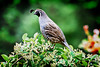 Quail on Cotoneaster