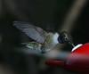 Black-Chinned Hummingbird D80 136  051