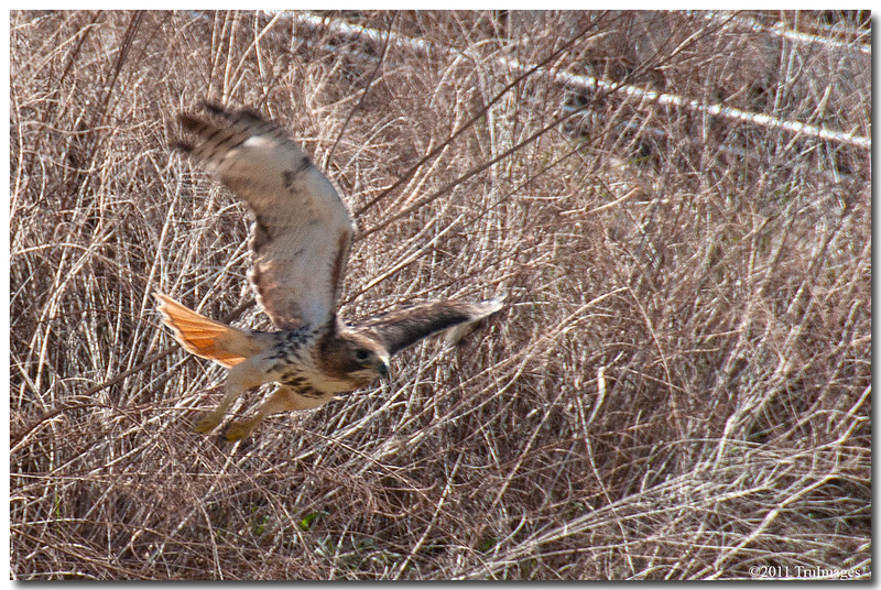 Mar 19<br /> Red tailed hawk, after missing a target
