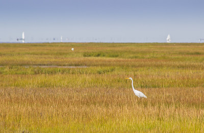 Egret, Island Beach State Park, New Jersey