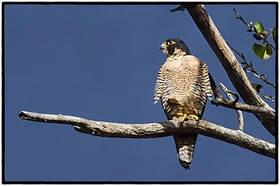 Peregrine Falcon, Sacramento Wildlife Refuge