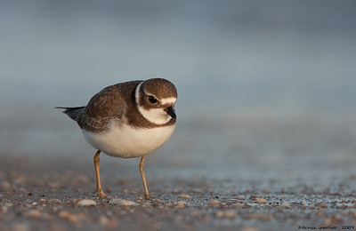 Soaking Wet Plover(juvenile)