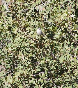 Bushtit, Interior race, Sycamore Creek, Sunflower, AZ, nov 30, 2006