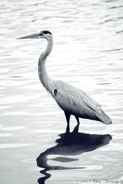 Monochrome Heron