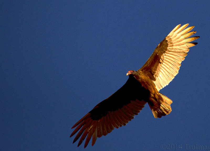 Feb 25<br /> Nature's Custodian<br /> <br /> A tureky vulture saors high above looking for an easy meal.