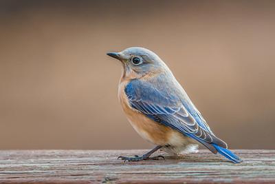 #527 Eastern Bluebird 5505
