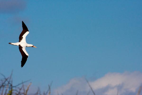 Nazca Booby in flight.