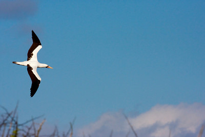 Nazca Booby in flight.