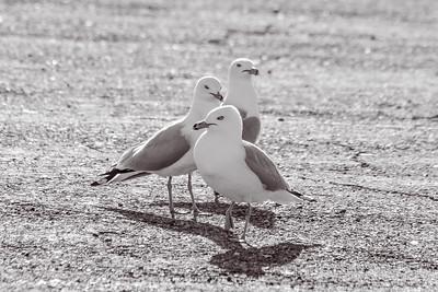 Bird Bullies